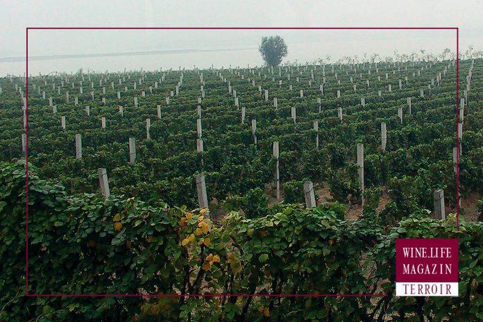 Weinlagen mit Terrior in Chinas Region Hebei, bstockt mit Cavernet Sauvignon, Wine.Life.Magazin