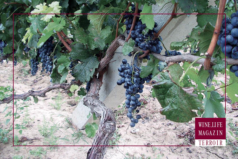 Reife Trauben der Rebsoerte Cabernet Sauvignon, Dossier Terroir, WineLifeMagazin
