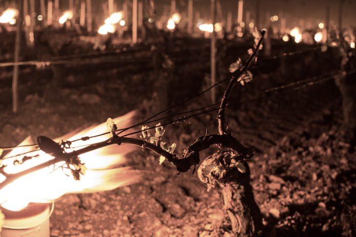 Frost in Weinbergen, Feuer als Schutz