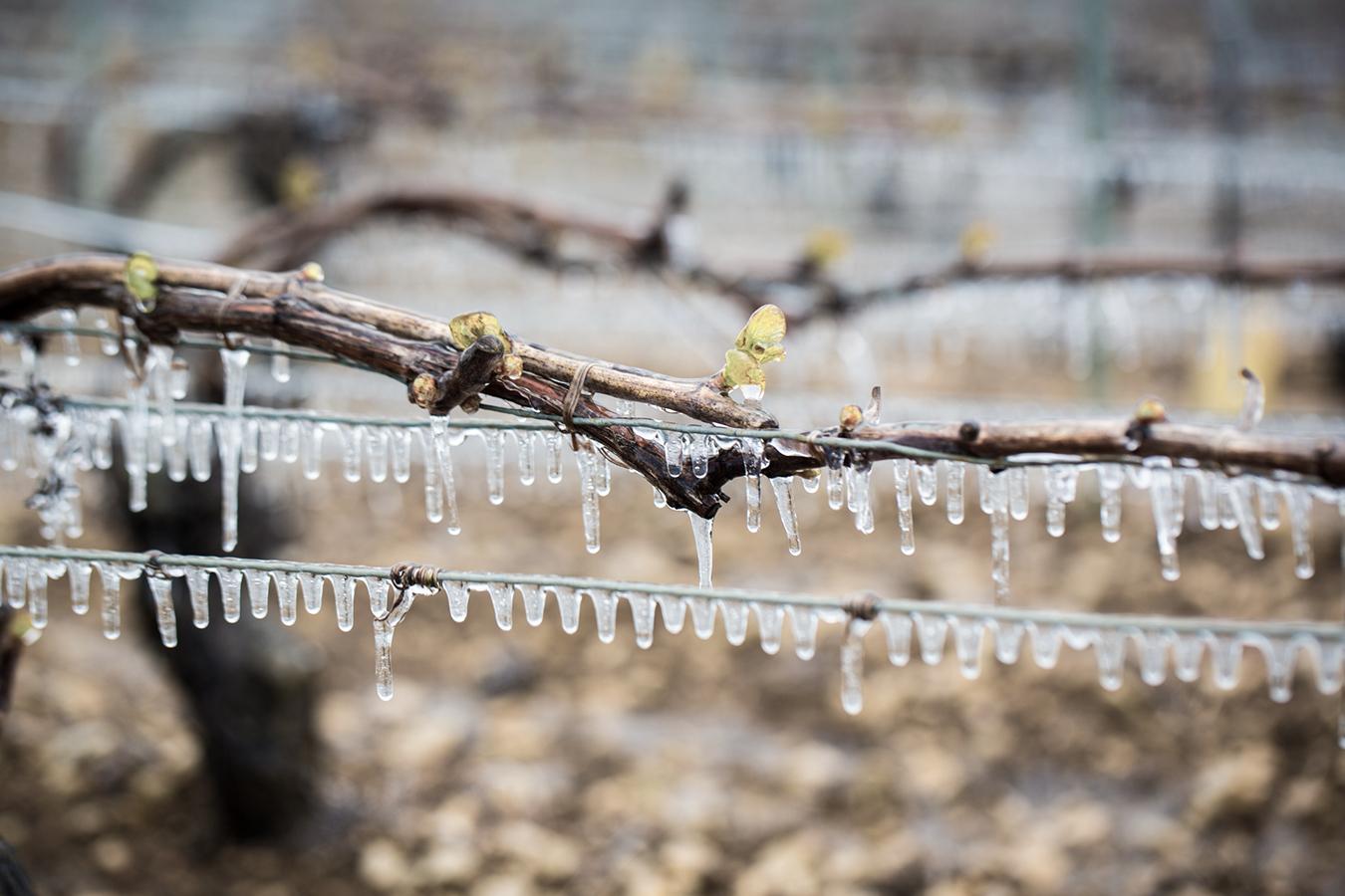 Eis auf Weinreben als Schutz vor Frost